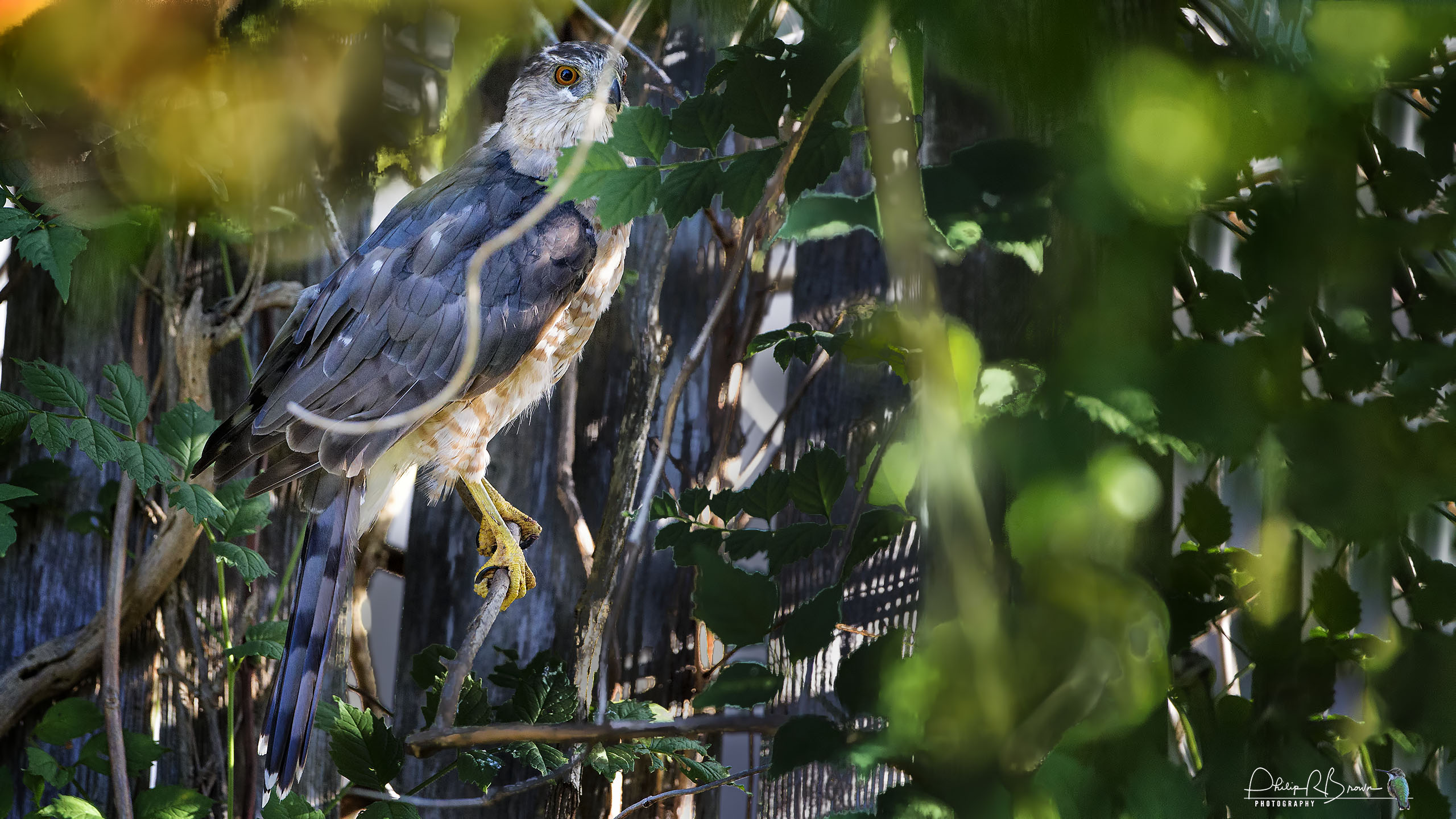 An adult female Cooper's Hawk hunting in the Trumpet Creeper in the yard