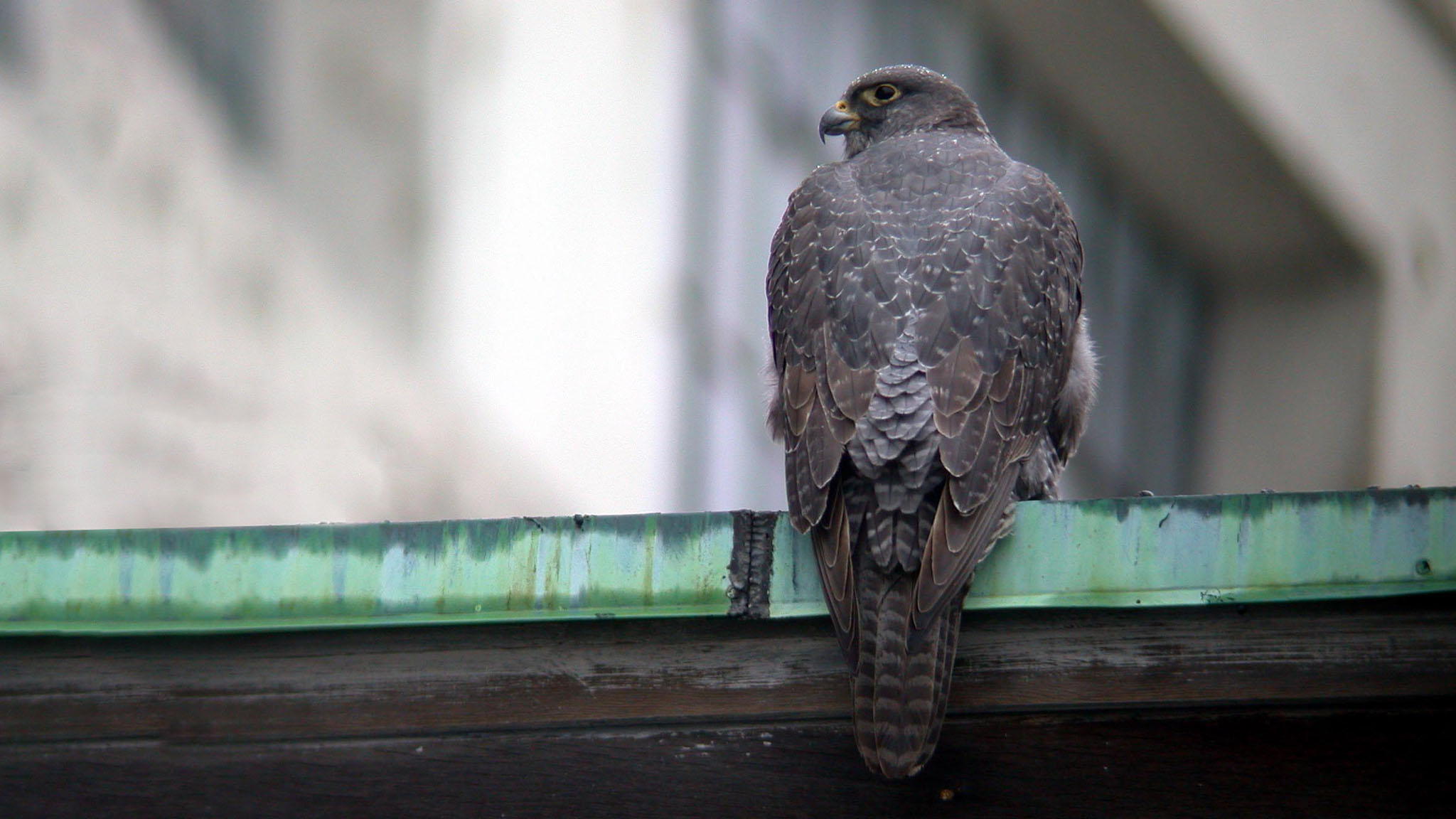 A Gyrfalcon of all things sitting on the Black Falcon Pier in Boston back in 2003. This Gyrfalcon spent a few weeks dining on Herring Gulls and wowing the birding world.
