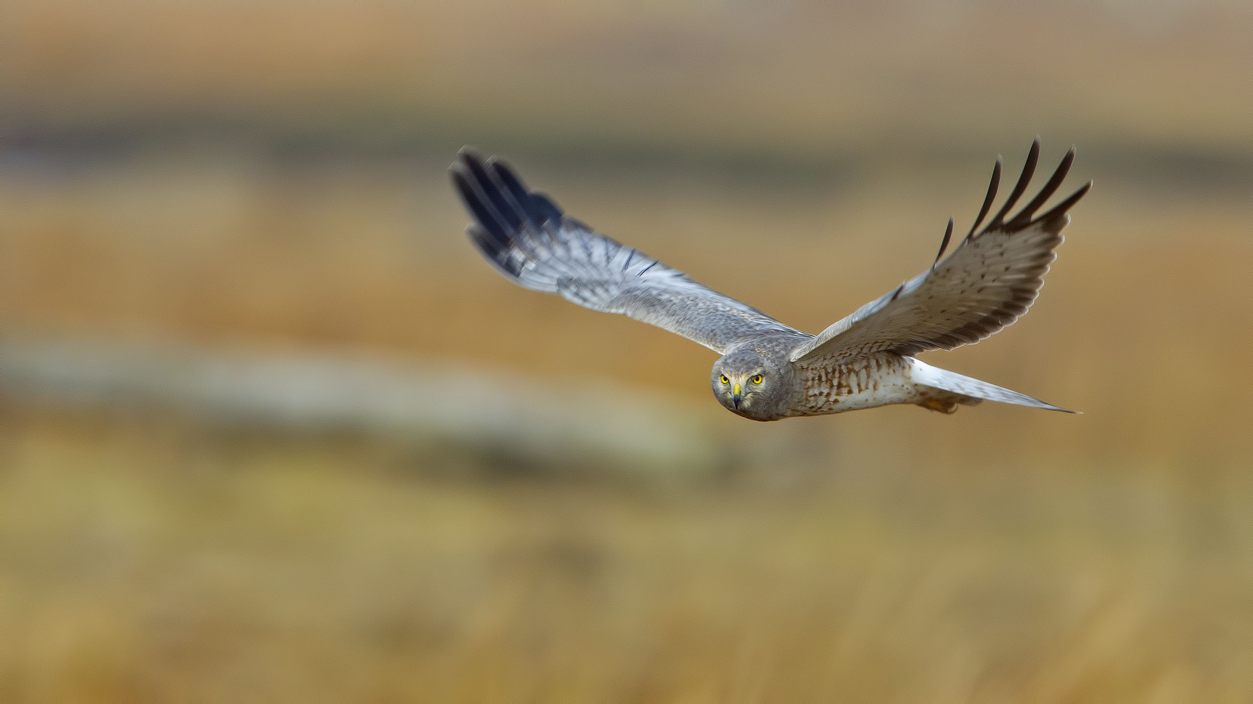 A male Northern Harrier, the gray ghost, keeping an eye on me as it cruised over the marsh at Salisbury Beach State Reservation