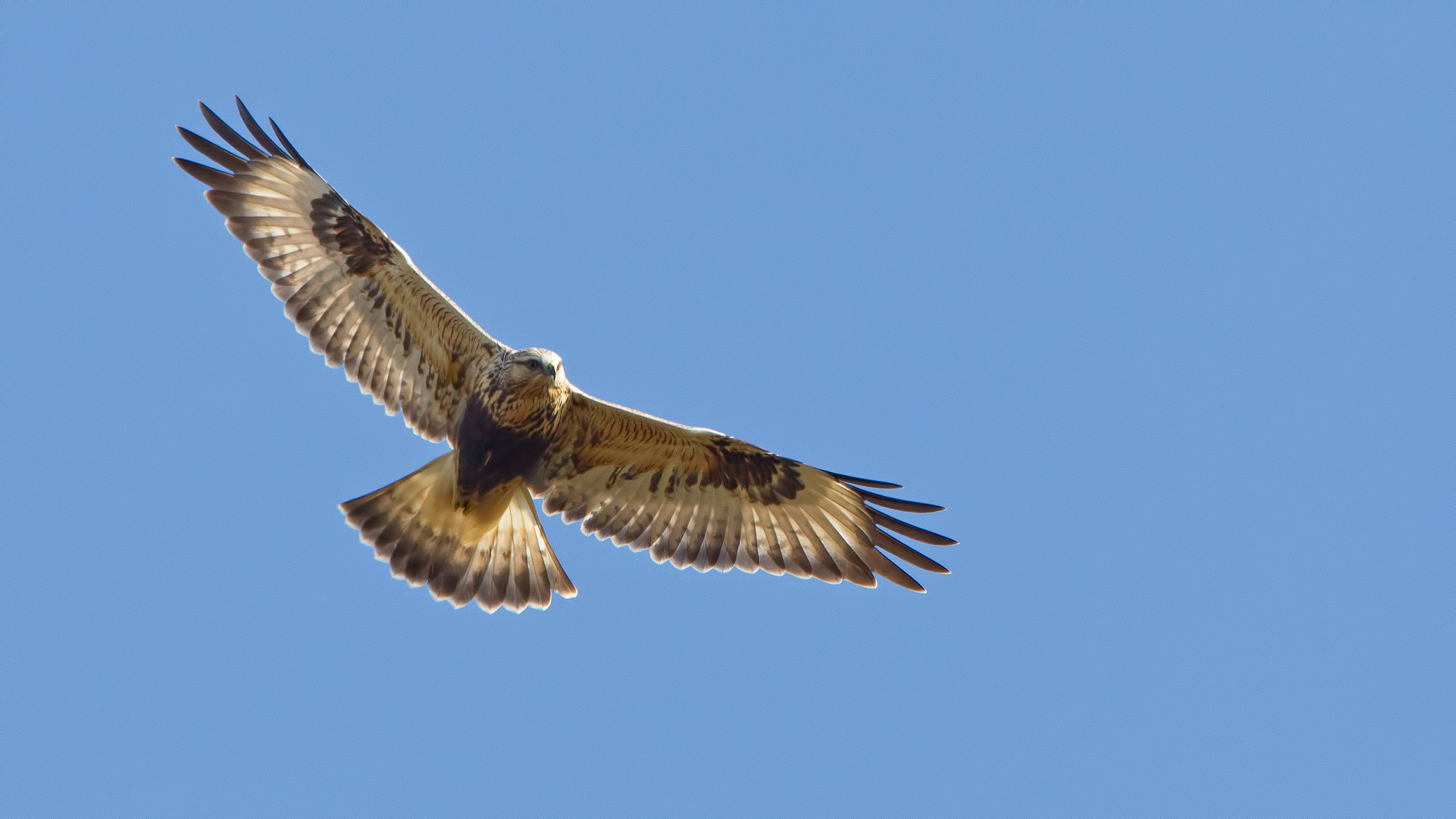 A light morph Rough-legged Hawk hunting over the Marker Field on the Parker River NWR