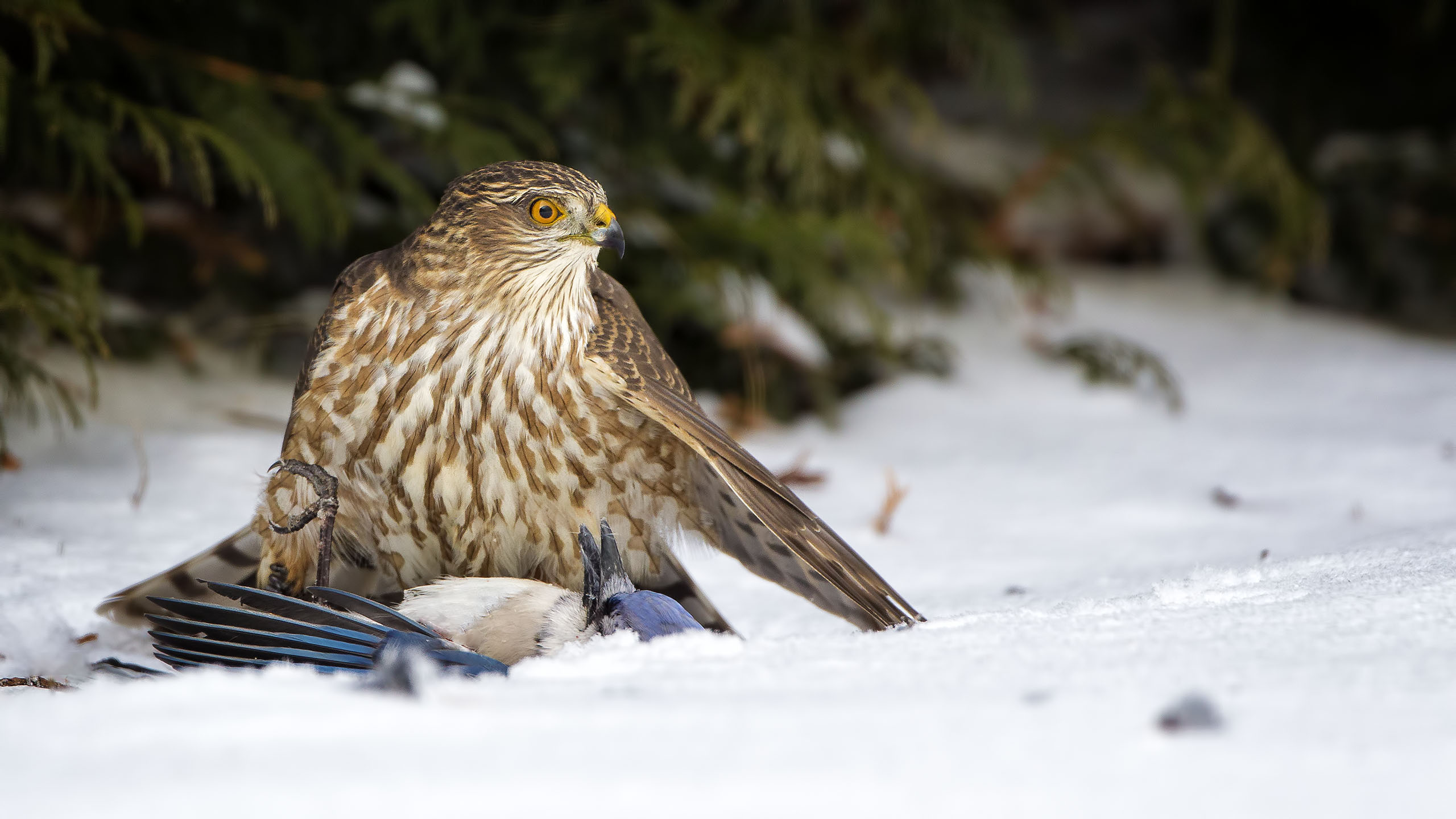 A Sharp-shinned Hawk that managed to take a Blue Jay which is almost the same size as the hawk at the house in Essex
