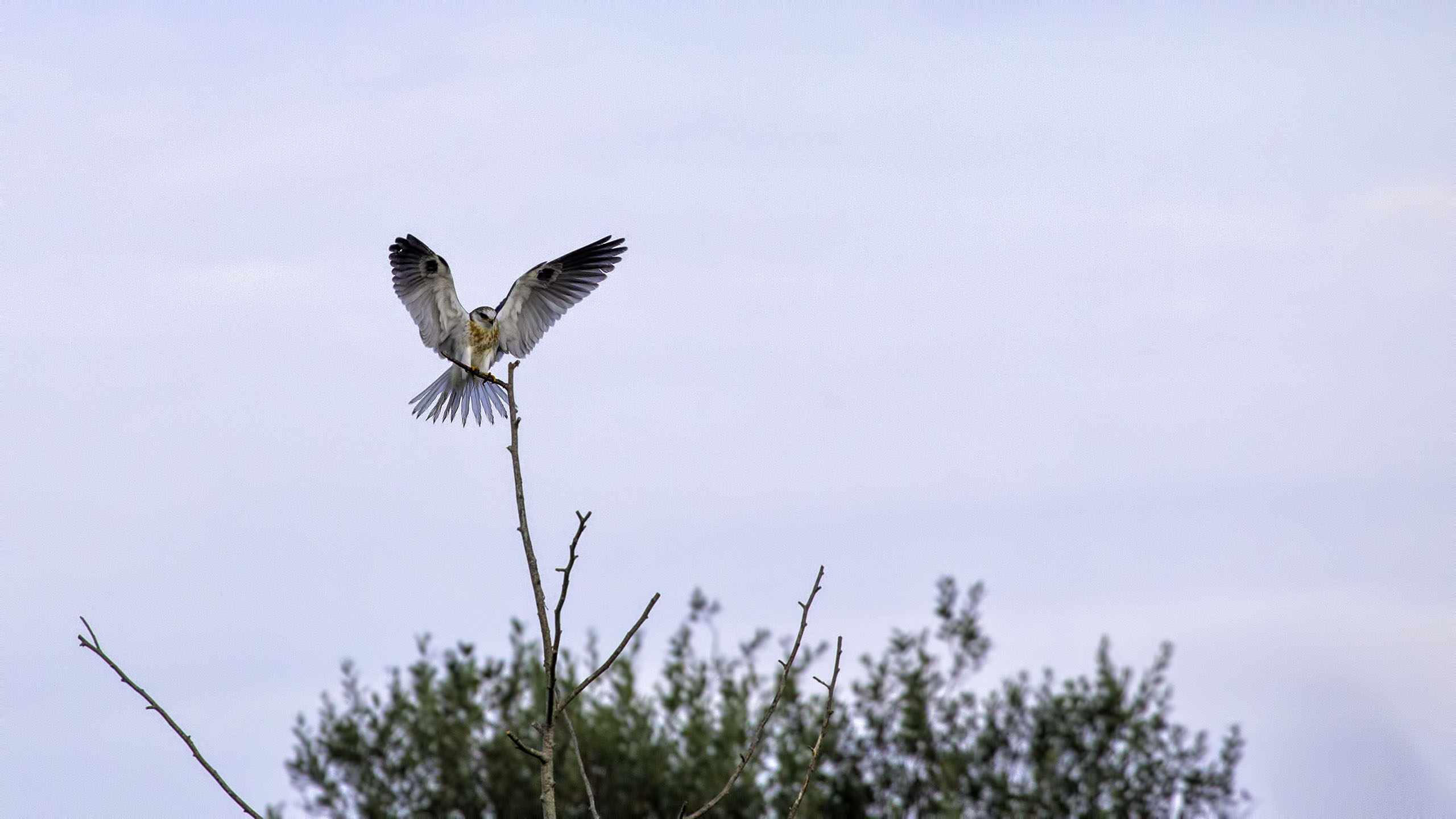 A White-tailed Kite at Humbolt National Wildlife Refuge in Eureka, CA