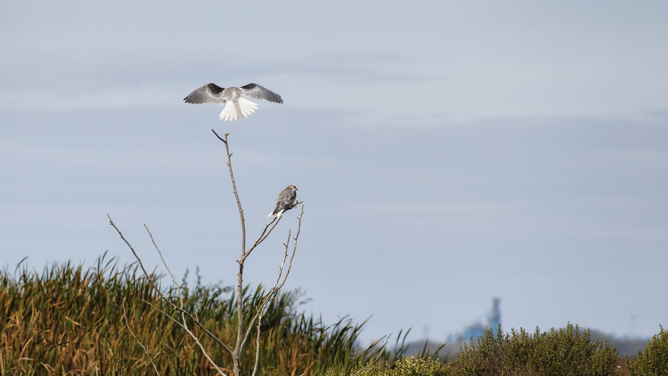 A pair of White-tailed Kite at Humbolt National Wildlife Refuge in Eureka, CA