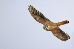 A female American Kestrel soaring near her nest site in Newburyport