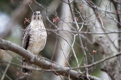 A Broad-winged Hawk perched up across the street from the house in Essex