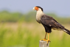 A Crested Caracara after a meal of road kill Armadillo along Rte 82 outside of Fort Meyers, FL