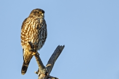 A female Merlin perched up in one of the low Pines at Salisbury Beach State Reservation