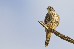 A Merlin watching a Red-tailed Hawk flyover