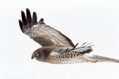 Northern Harrier 03-10-14