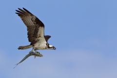 An Osprey coming in with a colorful fish on the Gulf Coast, Sanibel, FL