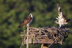 Osprey-Cox-Res-08-08-14-2560A-1