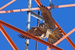A young Peregrine Falcon landing on the radio tower at the Eastern Point light house in the early winter of 2008