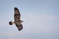 Rough-legged Hawk 10-28-13