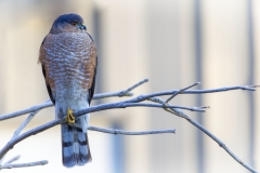 An adult Sharp-shinned Hawk that stopped by the yard