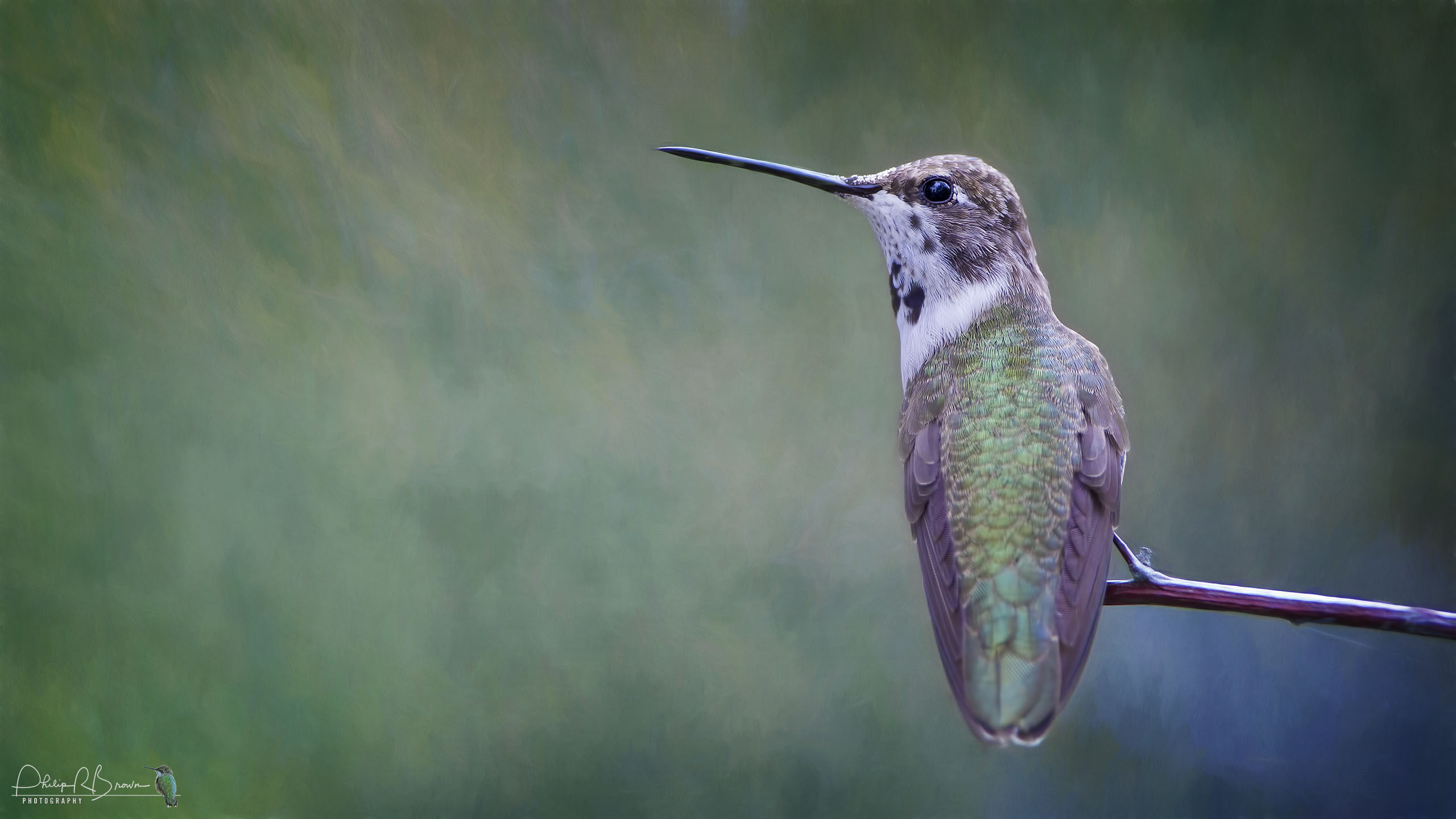 A youngster keeping an eye on all the other Hummingbirds at Paton's in Patagonia, AZ