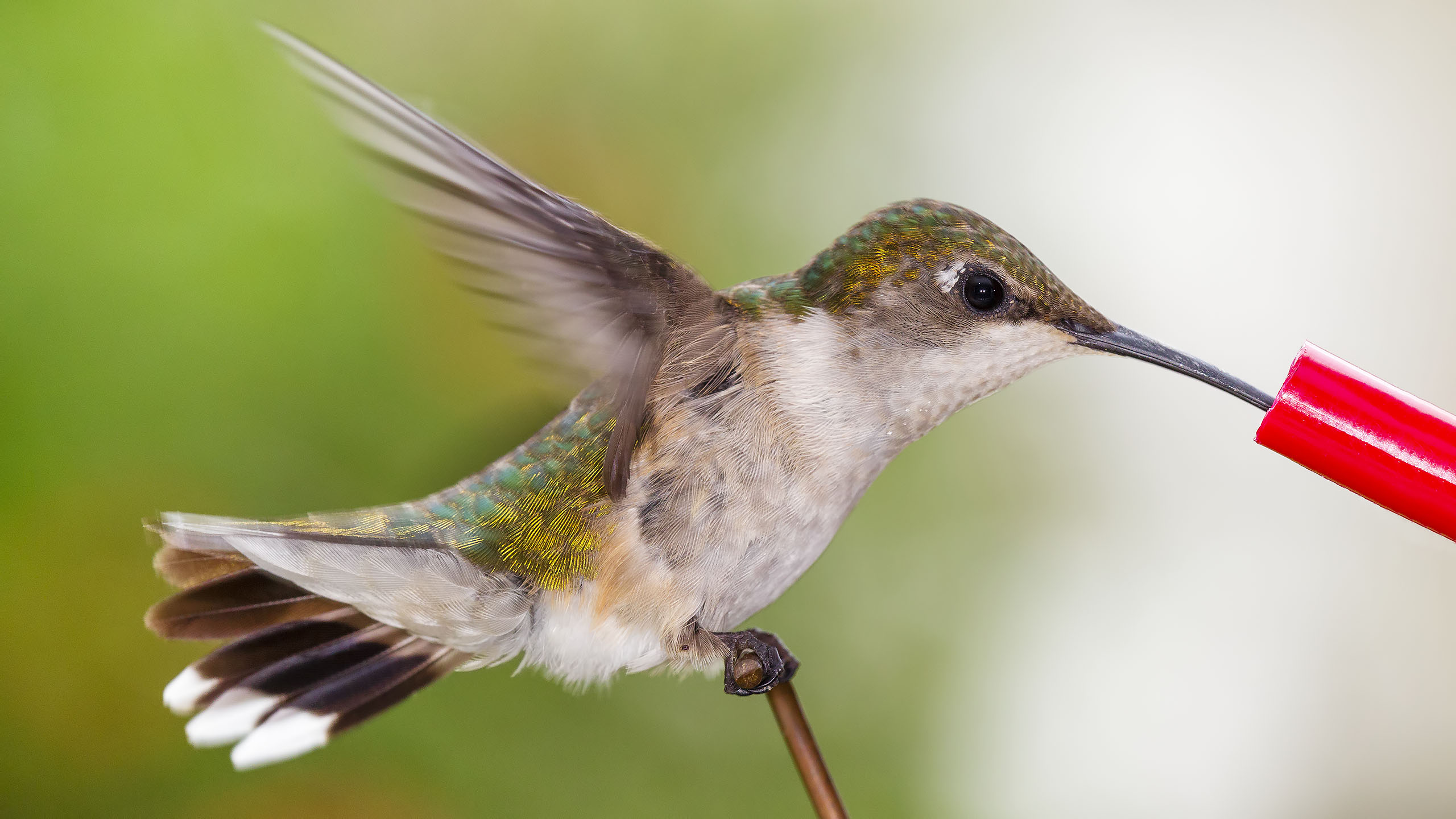 Ruby-throated Hummingbird 08-03-14