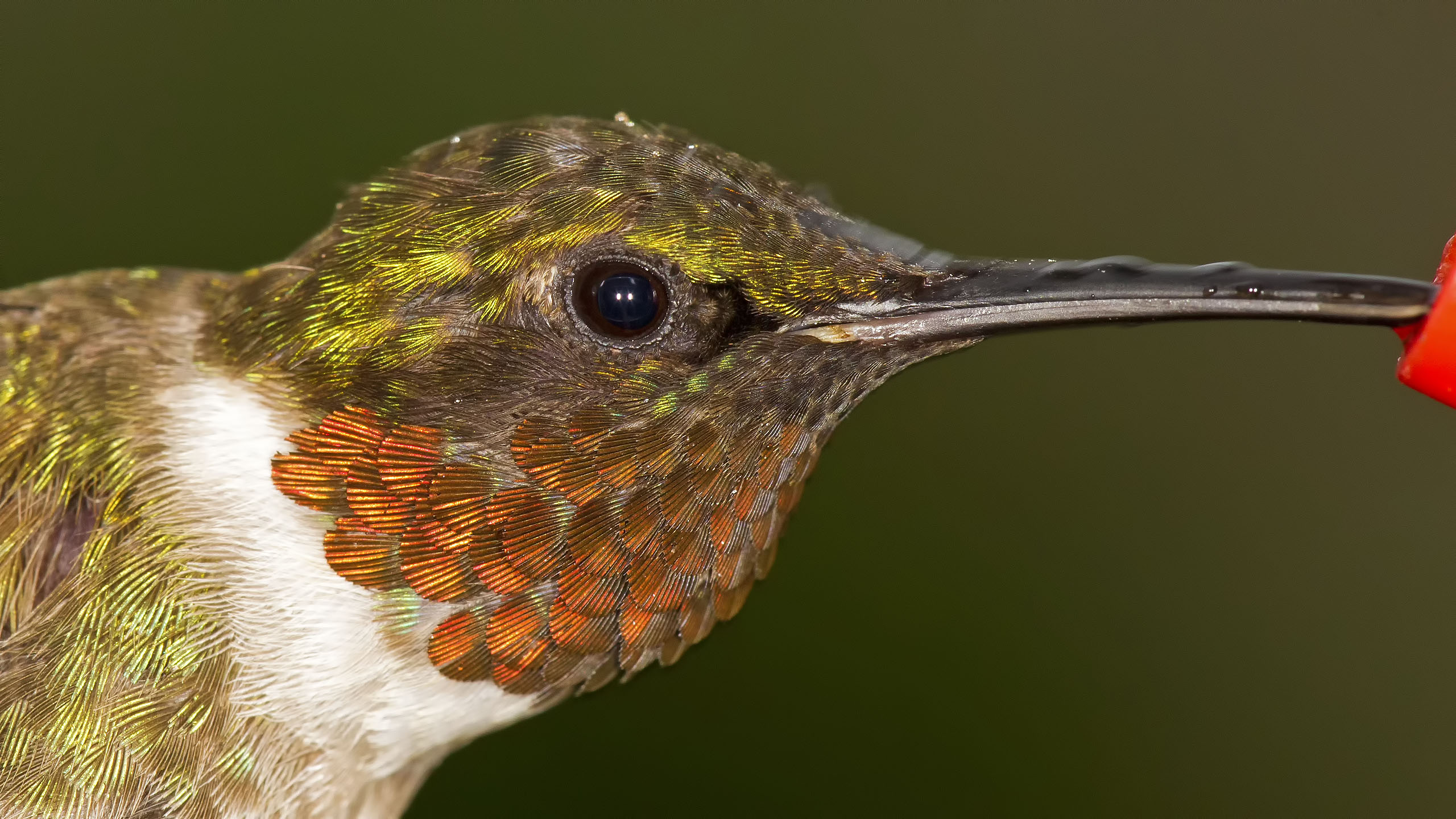 Ruby-throated Hummingbird 08-07-11