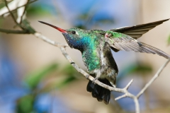 A Broad-billed Hummingbird having a good stretch at the Paton's residence in Patagonia, AZ back in 2010
