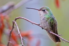 Broad-billed Hummingbird, Paton's, Patagonia, AZ 09-12-11