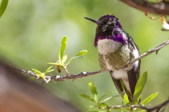 Costa's Hummingbird at the Arizona / Sonora Desert Museum in Tucson, AZ 05-14-15