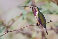 Lucifer Hummingbird, Sierra Vista, AZ 09-13-11