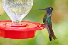 Magnificent Hummingbird, Sierra Vista, AZ 09-19-10