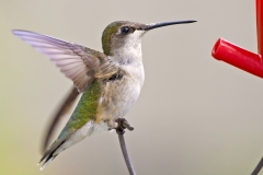 Ruby-throated Hummingbird 08-06-11