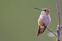 Rufous Hummingbird photographed at approximately 8000' on Mt Lemmon outside of Tucson, AZ