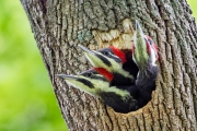 Pileated Woodpecker