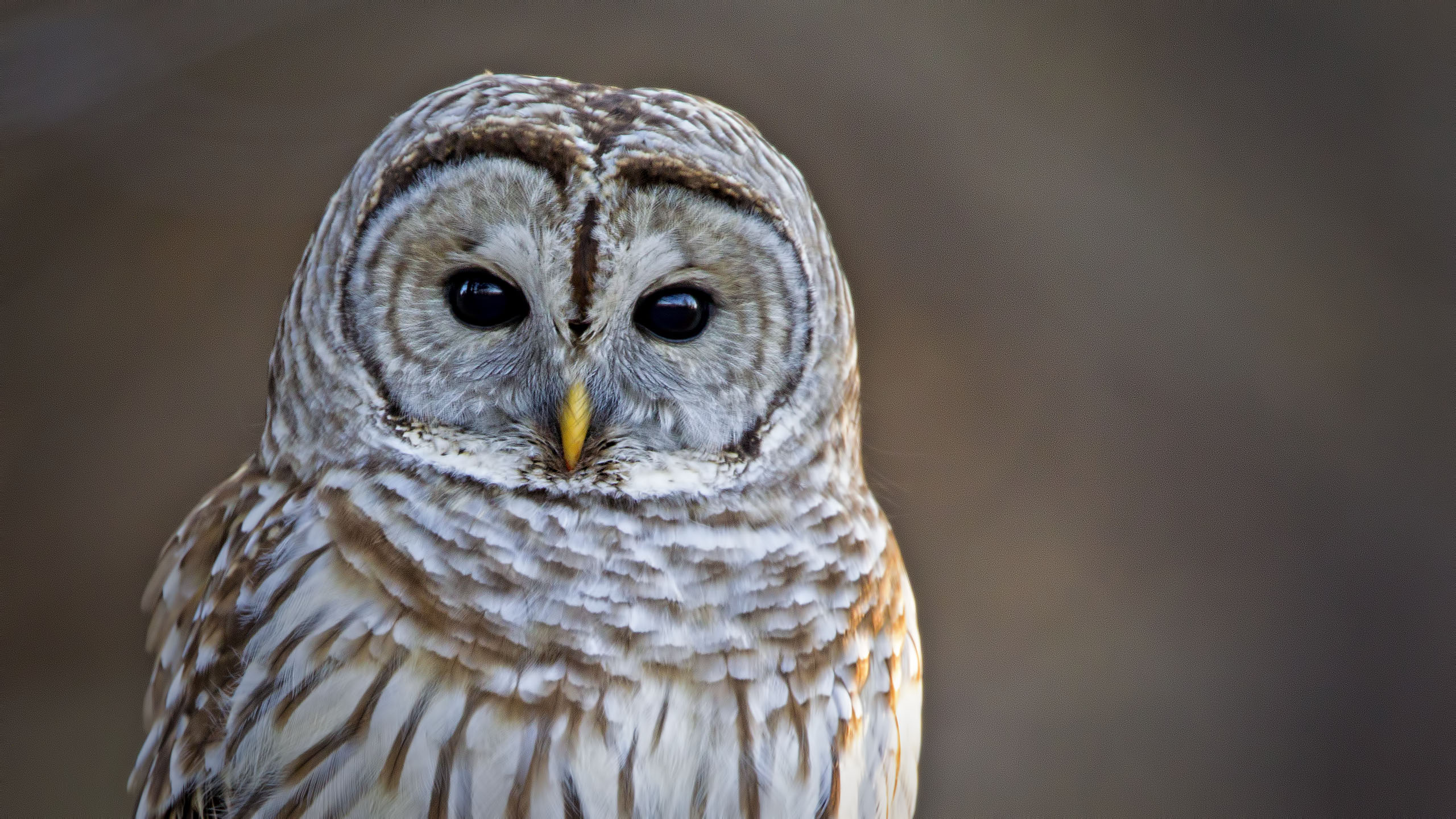 Barred-Owl-02-19-12-2560A-2