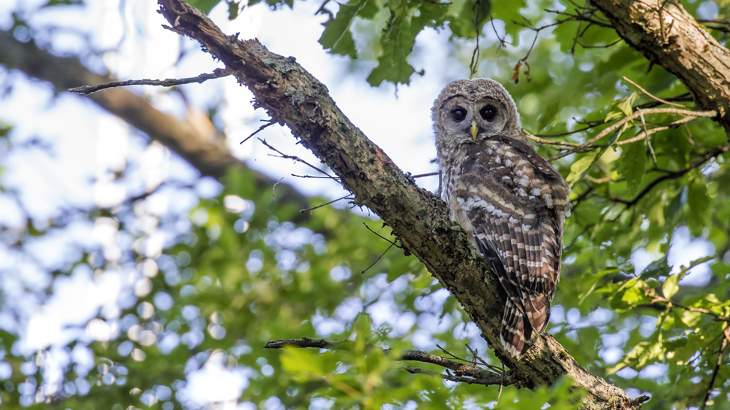 Another young Barred Owl sitting out enjoying the day.