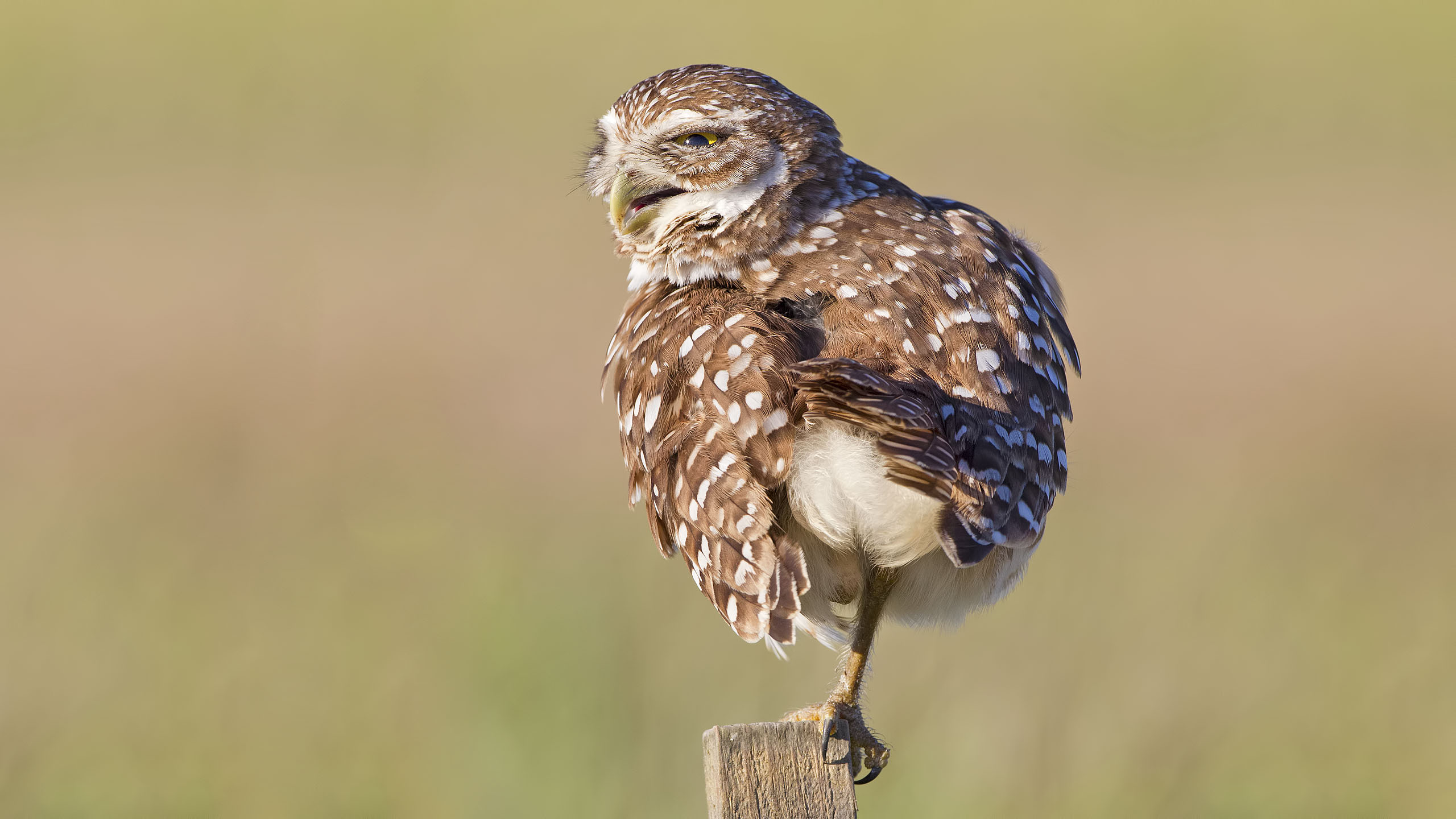 This Burrowing Owl was preening at it's nest site in Cape Coral, FL