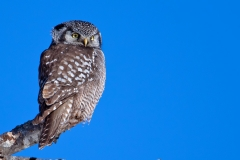A Northern Hawk Owl that spent a few weeks around in Center Harbor, NH back in January of 2009. I rented a Canon 500mm f/4 lens with hopes of photographing this owl and wasn't dissapointed. I purchased my copy of the lens shortly after.