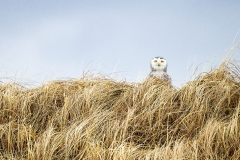 A curious Snowy Owl in the dunes at Salisbury Beach State Reservation