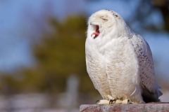 Yawning for the crowd of folks that this owl could have cared less about.